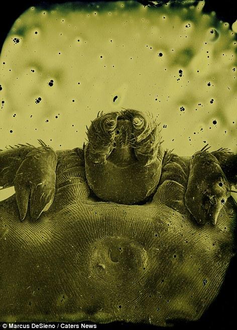 Pióca paraziták, Piócák – Wikipédia