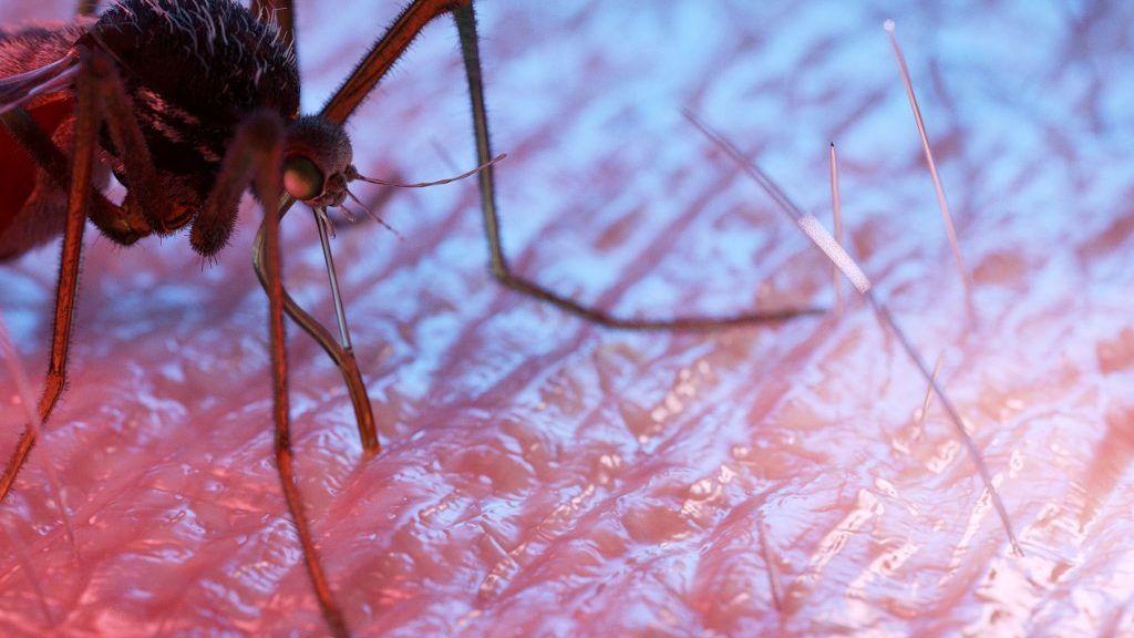 ahol a malária paraziták szaporodnak