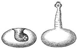 galandféreg hogyan lehet felismerni