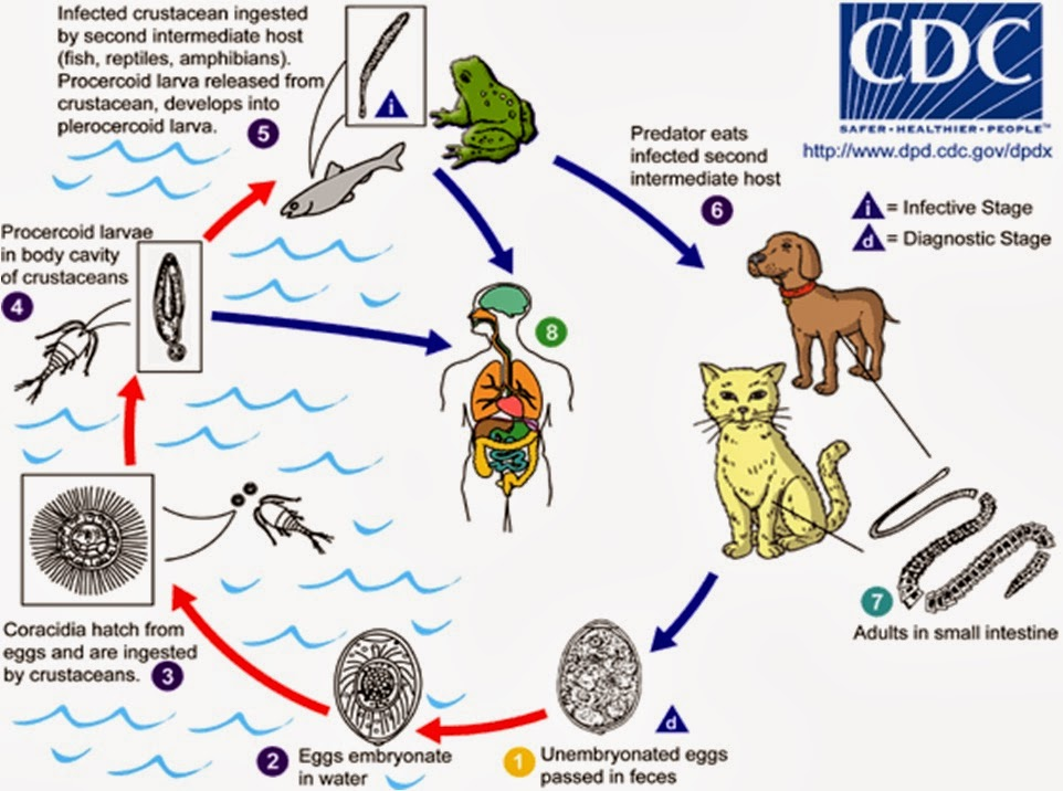 Különbség a baktériumvírusok gombák és paraziták között