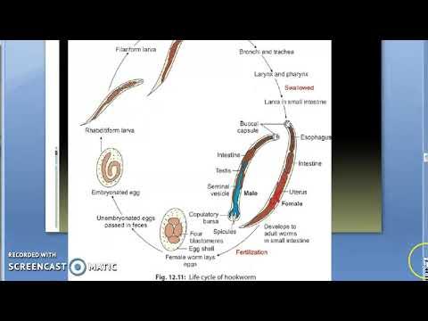 Az Ascaris lárvák átterjednek az emberekre - Féreg kezelés tünetei