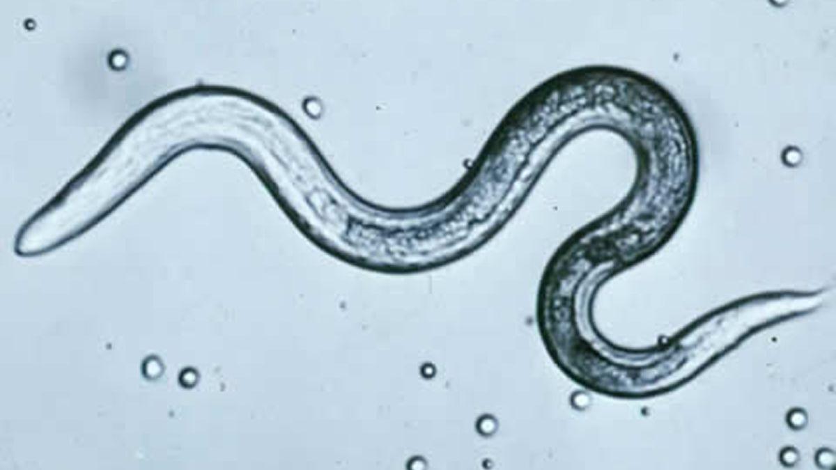 Pinworm az a féreg, A pinworms helye Pinworms a tüdőben és az orrban - A testen