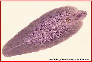 A pinworms megelőzése és kezelése - Írja le az aszcariasis valódi fókuszát